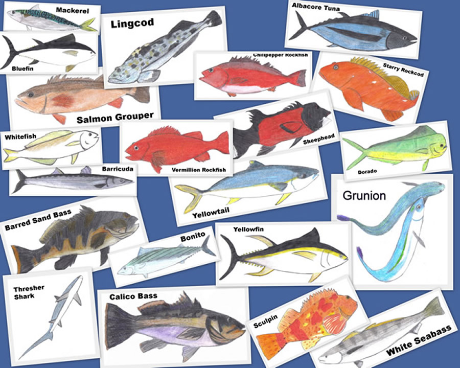 Southern california saltwater fish art images of fish for Fishing license san diego